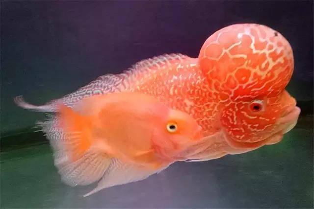 冬季买罗汉鱼需要注意什么?