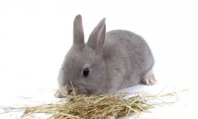 兔子吃什么?兔子怎么养