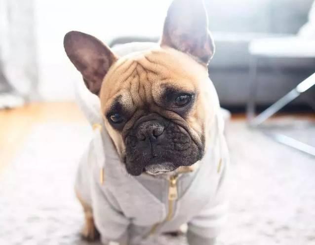 狗什么时候发情?狗发情了几天可以配种,狗狗发情期你该如何关心它?