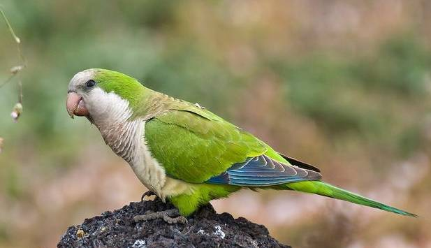 鹦鹉感冒预防及治疗