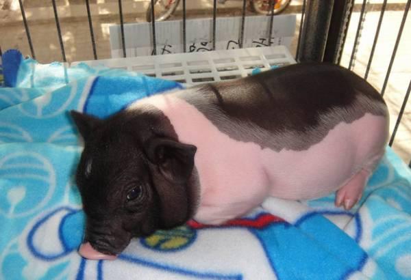 如何辨别纯种小香猪