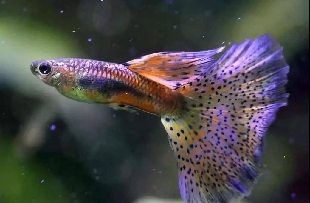 孔雀鱼的慢养状态