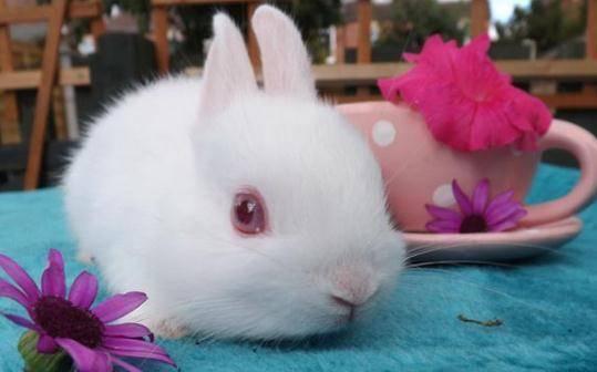 小白兔死亡原因之谜
