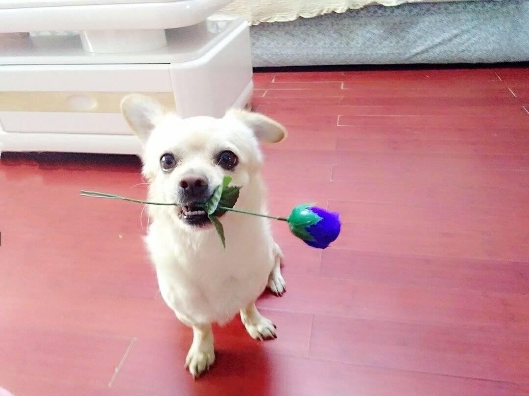 主人说我是世界上最好看的狗狗,(绝对吹牛!)主人说我拥有水晶般炯炯的眼睛(绝绝绝对是真的)
