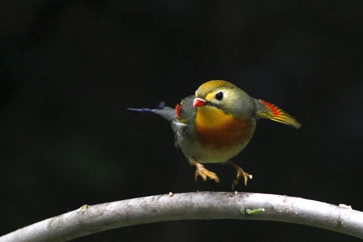 相思鸟、姿态优美