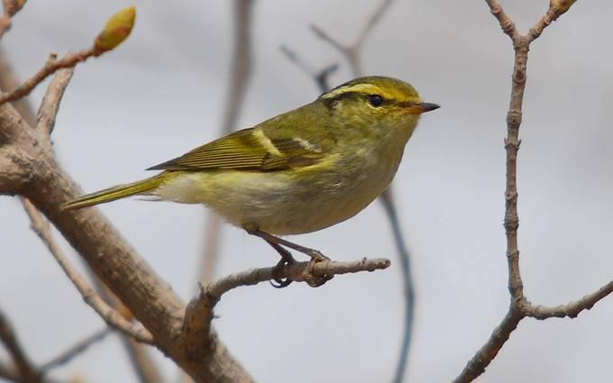 六种常见柳莺的区别和辨识