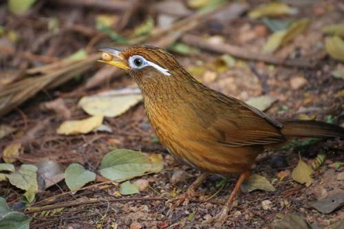 画眉鸟最快的驯服方法
