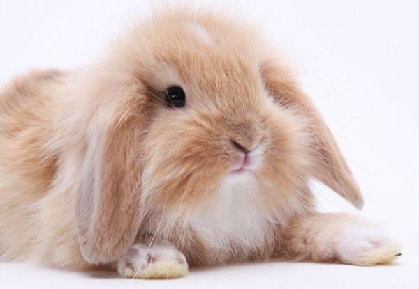 垂耳兔寿命