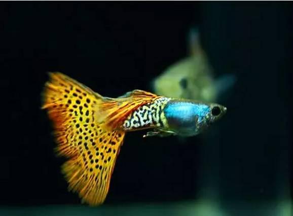 孔雀鱼怎么养,孔雀鱼熬不过春季新节气?土霉素鱼缸用量和作用?