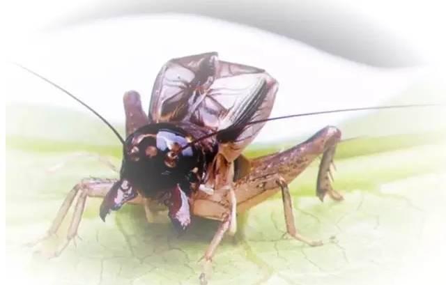 蟋蟀文化漫谈