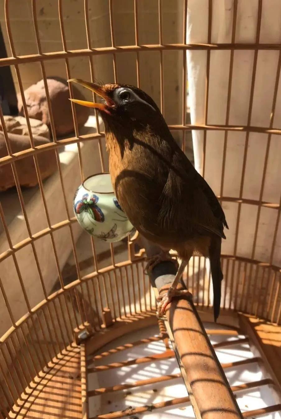 眼下原毛鸟准备出窝,如何挑选原毛画眉鸟?
