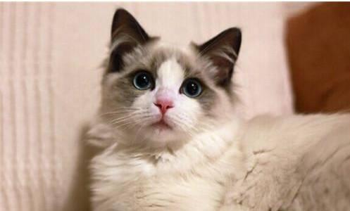 布偶猫怎么看品相