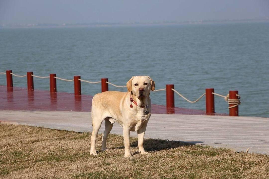 拉布拉多犬在生病前有什么征兆呢