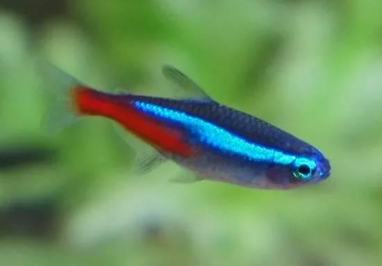 低至几毛一条的红绿灯鱼,曾让全世界如痴如醉