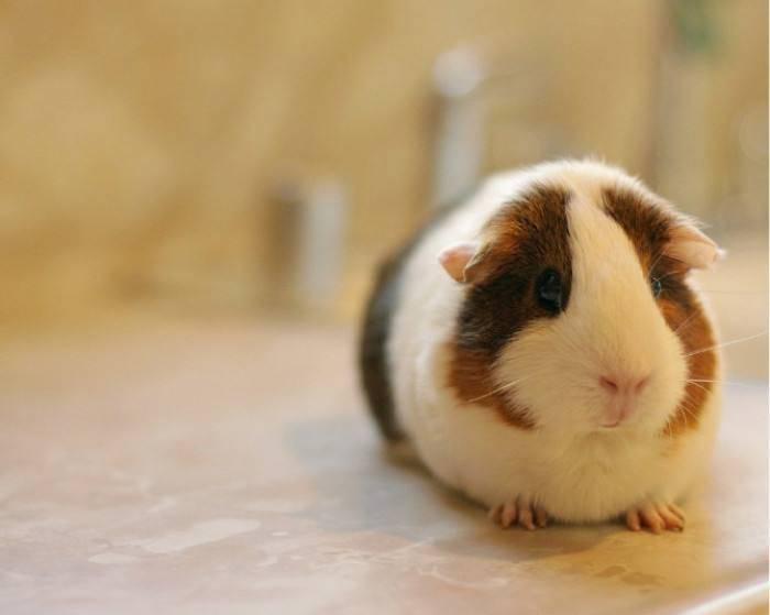 荷兰猪.jpg