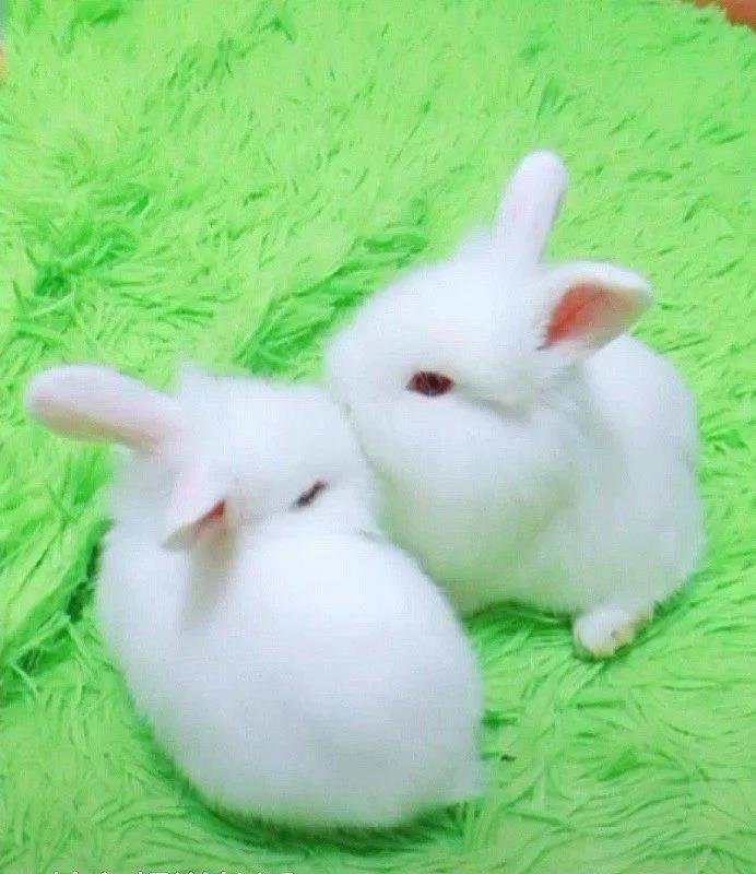 【宠物兔】我就是萌萌哒,简单介绍一下吧,我们家两女儿,大闺女叫飘雪,小女儿叫怡宝