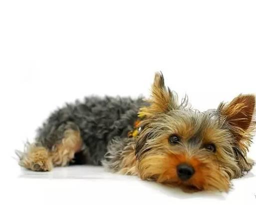 狗狗每年都需要打疫苗吗