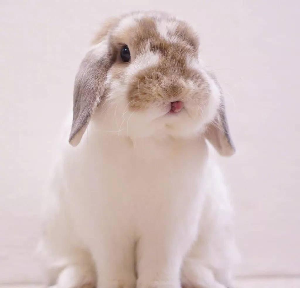 肉乎乎的小脑瓜兔子,超级萌了!