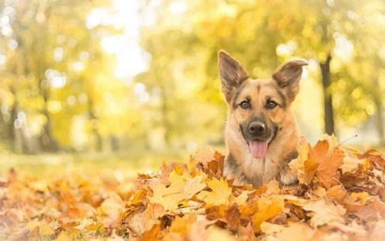 如何解决德牧犬的口腔疾病