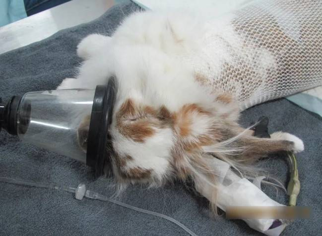 兔子绝育后要怎么照顾,手术后饮食需要注意什么?