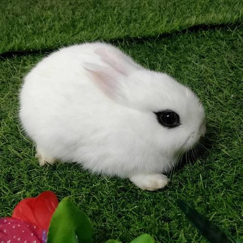 西施兔该怎么养?