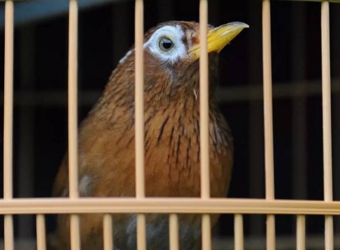 画眉鸟怎么养?之养鸟之道