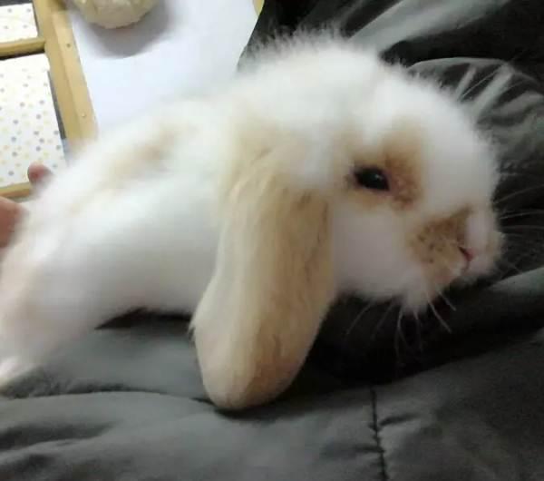 宠物兔子怎么养?养宠物兔子要注意什么