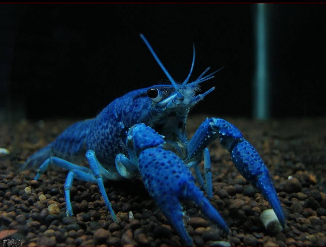 天空蓝魔虾
