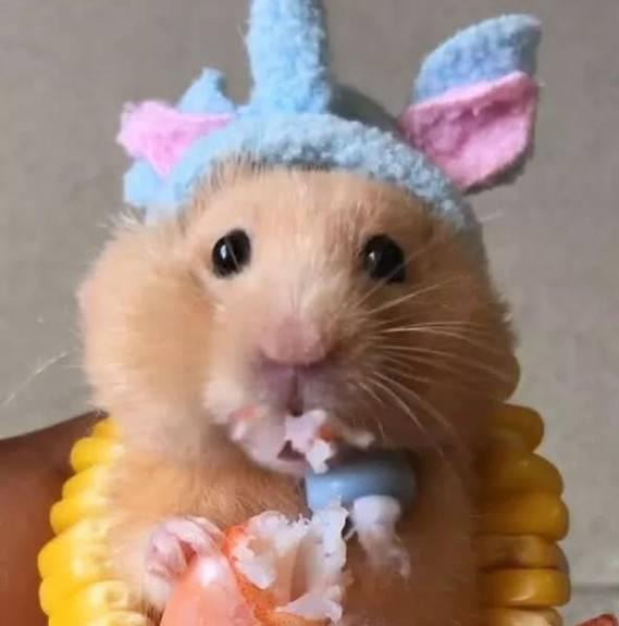 小仓鼠吃美味虾,玉米围成项链,动嘴的小模样萌翻了!