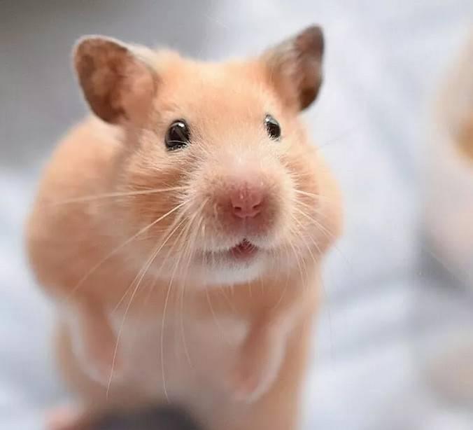 滴~您的仓鼠表情包已送达,请查看。在这个汪星人喵星人霸屏的年代小仓鼠很少被人注意,因为它实在太小了不过看了下面的图,相信你会被这个小东西萌化的 它们的表情超丰富der~简直可以往谐星发展了
