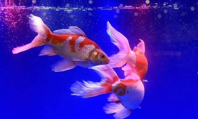 什么鱼好养,这三种入门级观赏鱼非常皮实,好养好看还逗趣!~