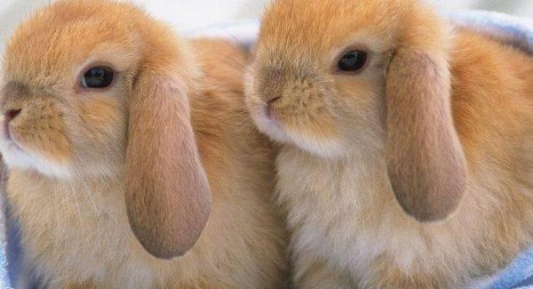 兔子中暑症状