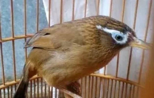 生鸟服笼秘诀,烈性画眉鸟怎么服笼