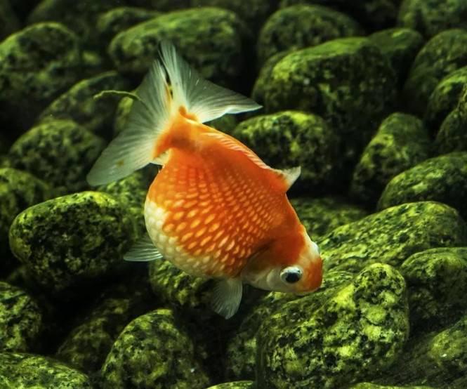 金鱼疾病治疗法