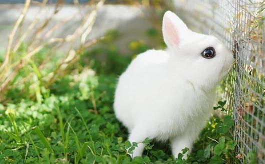 兔子拉血是怎么回事?兔子为什么会拉血