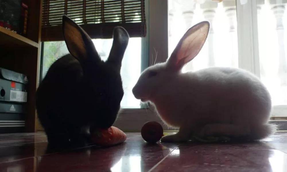 兔子绝育后仍然脾气暴躁怎么办?