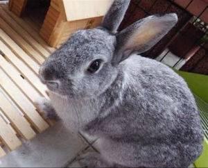 兔子发情的表现