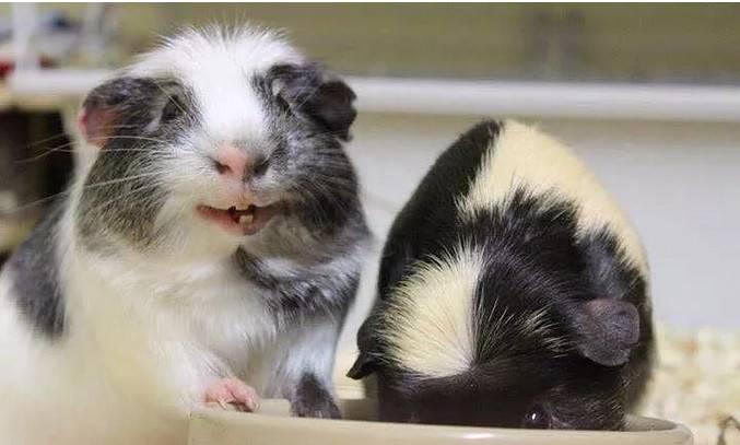 荷兰猪怀孕了能洗澡吗