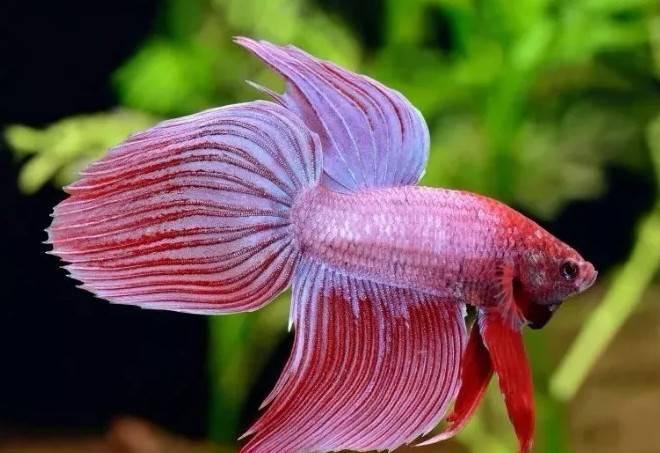如何选择你的第一条淡水观赏鱼,淡水观赏鱼的种类简介