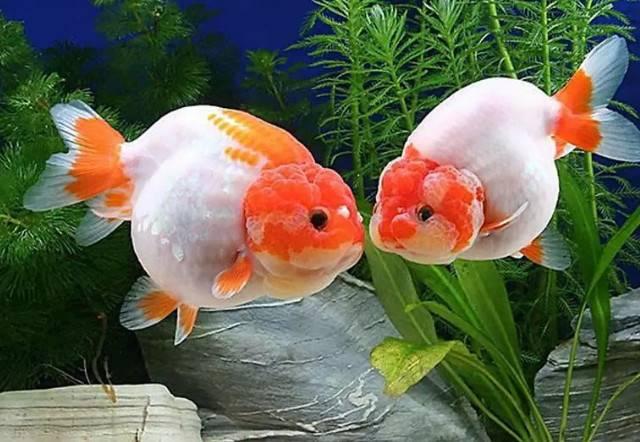 今日大暑,观赏鱼安全度夏的4个要点
