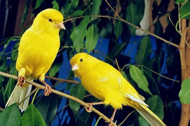 金丝雀(玉鸟、芙蓉)羽色的纯与杂