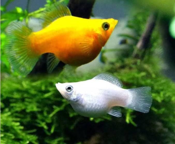 腊月里养这三种好看的观赏鱼,颜值高寓意好还能生