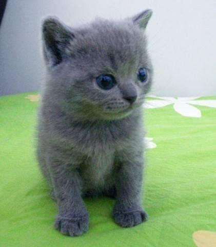 俄罗斯蓝猫多少钱一只
