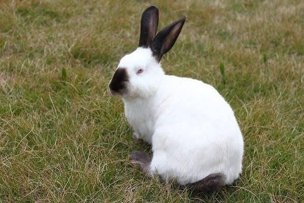 伊拉兔不能自留种吗