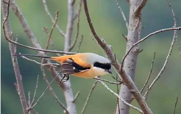 伯劳鸟的饲养方法