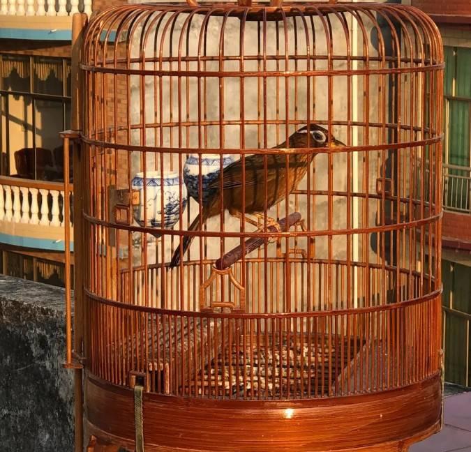 生头画眉鸟怎样养?画眉生头正确饲养方法
