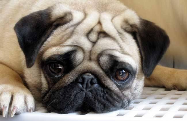 狗狗的医疗保健常识有哪些
