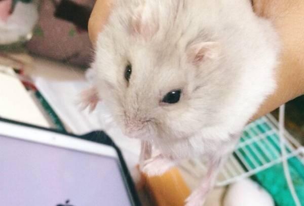 仓鼠有鼠疫吗