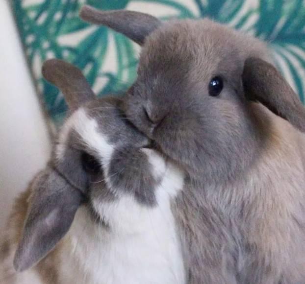 兔子发情症状?兔子发情怎么办