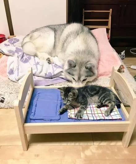 这大概是我见过最怂的猫了吧,竟然被哈士奇占了窝...